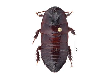 ライトキゴキブリの標本
