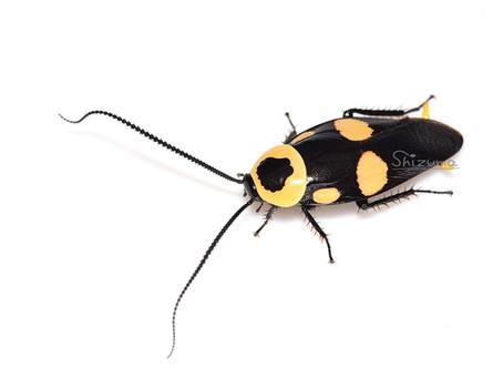 キボシクサリトイゴキブリの卵鞘