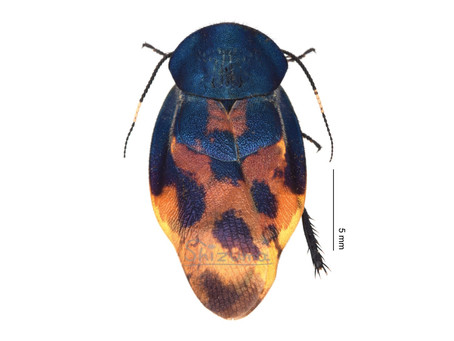 Eucorydia sp.の標本
