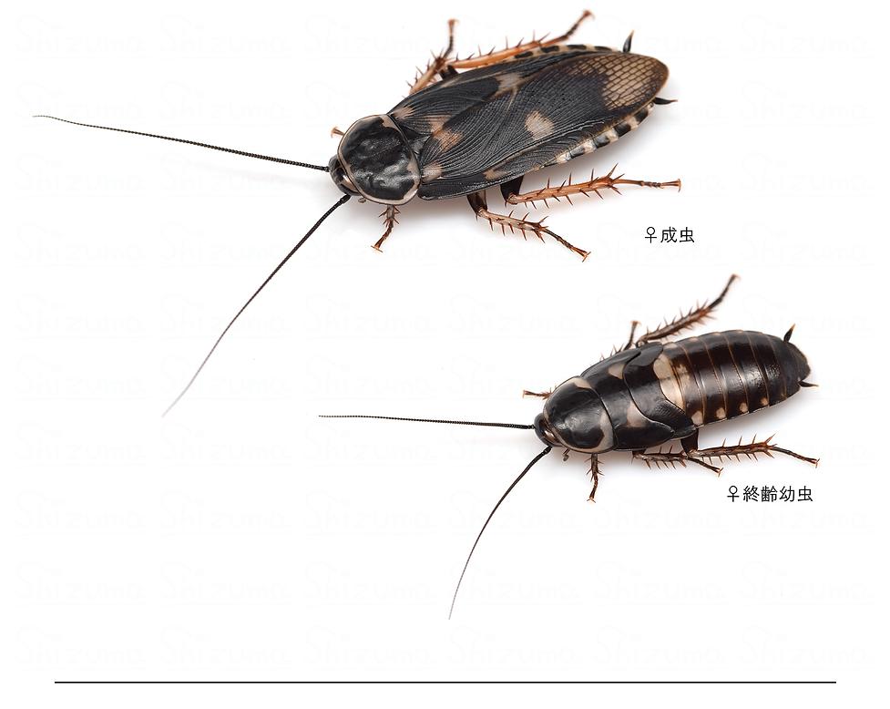 ブルンネリサシガメゴキブリ.png