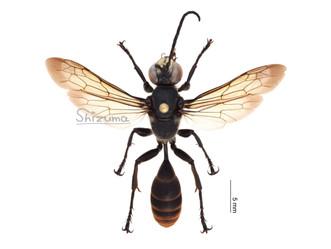 ゴキブリを狩るハチ、ツマキアナバチ