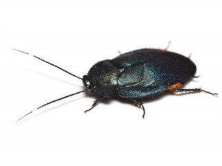 ルリゴキブリ属の非有害判定