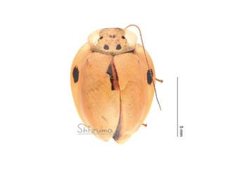 テントウゴキブリの一種Prosoplecta sp.