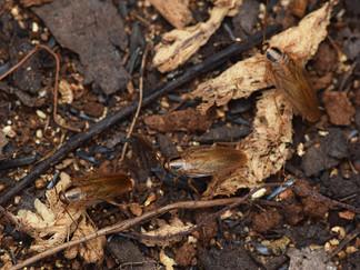 ヒメチャバネゴキブリ