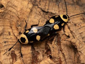 キボシクサリトイゴキブリのF1交尾