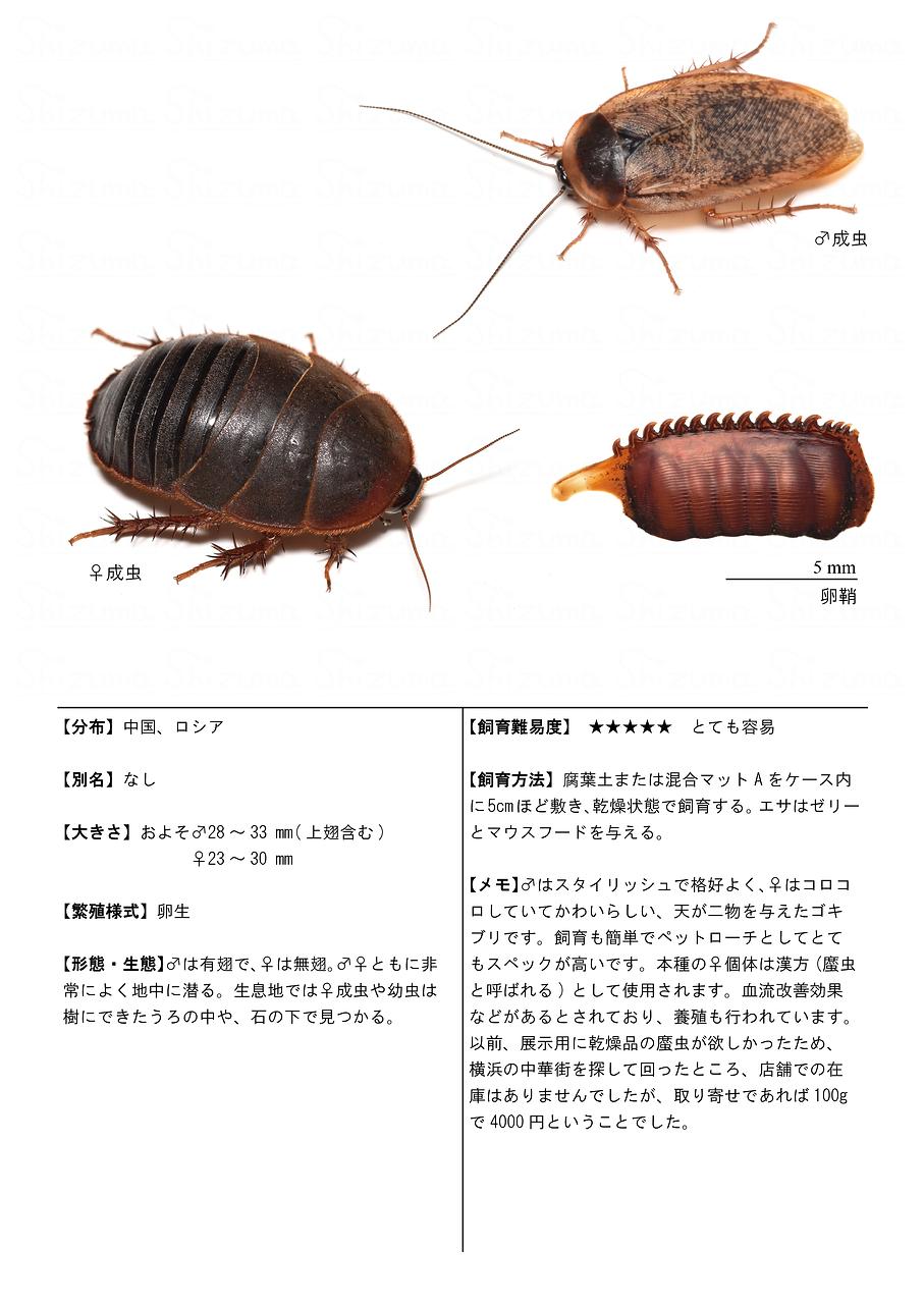 シナゴキブリ.png