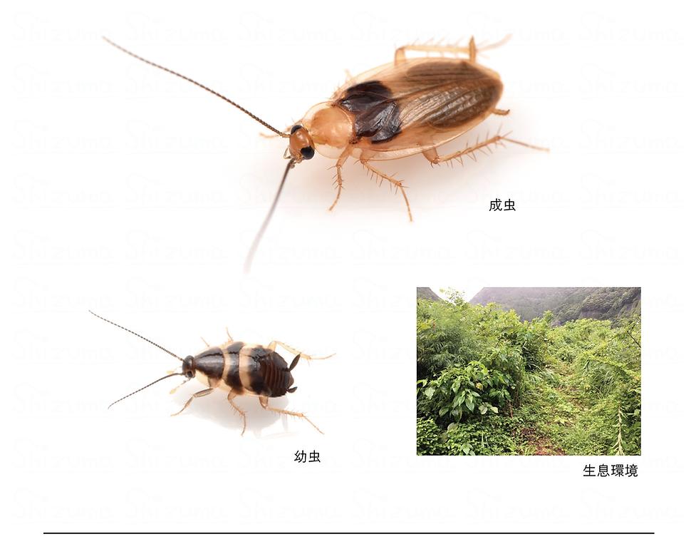 クロモンチビゴキブリ.png