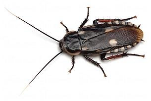 ヨツボシサシガメゴキブリ.png