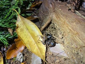 カマドウマに食べられるオオゴキブリ