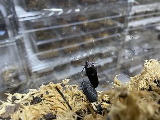 アシナガゴキブリ、♂が羽化