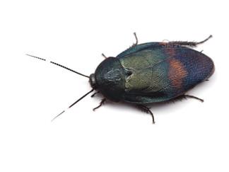 ウスオビルリゴキブリの撮影