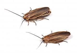 ホタルゴキブリ.png