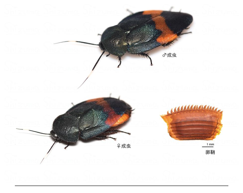 オオルリゴキブリ.png