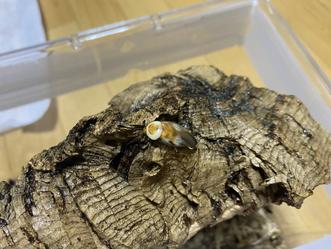 キボシクサリトイゴキブリの♀が羽化