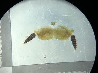 ヒメアカルリゴキブリの肛上板