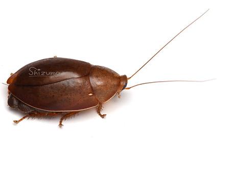 コモリゴキブリの保育