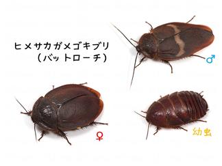 ヒメサカガメゴキブリ(バットローチ)の臭腺