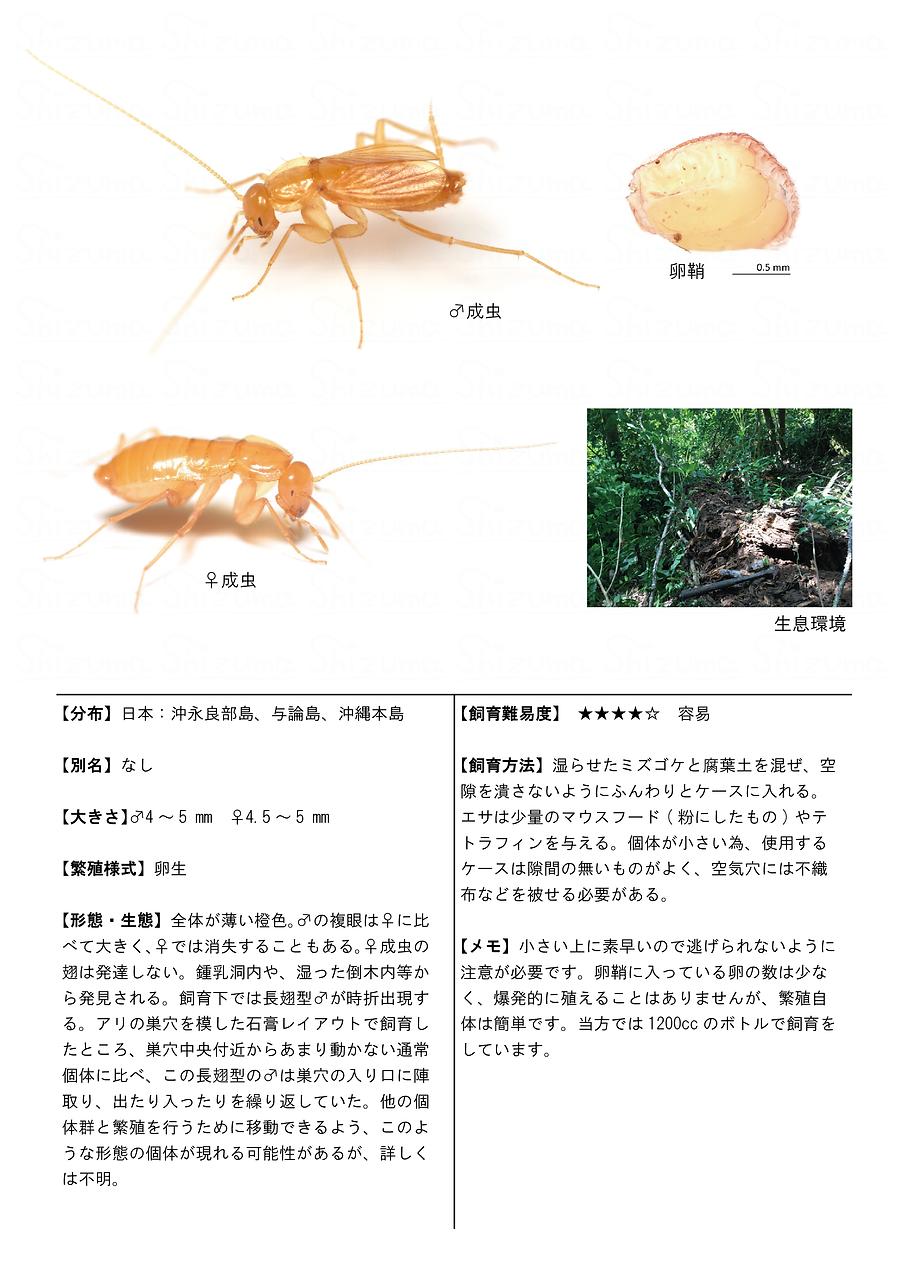 ホラアナゴキブリ.png
