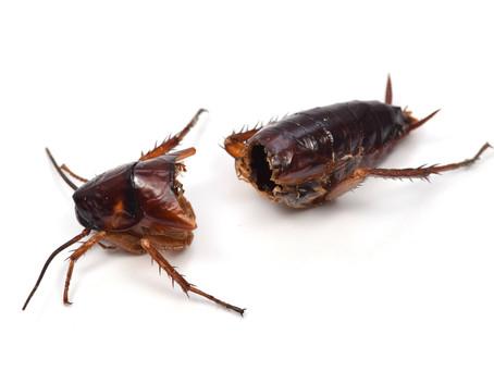 エメラルドゴキブリバチ:ゴキブリからの羽化