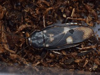 なかなか産まないブルンネリサシガメゴキブリ