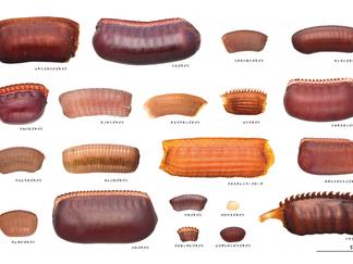 ゴキブリの卵鞘