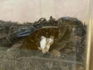フミガタゴキブリの共食い
