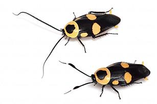 キボシクサリトイゴキブリ.png