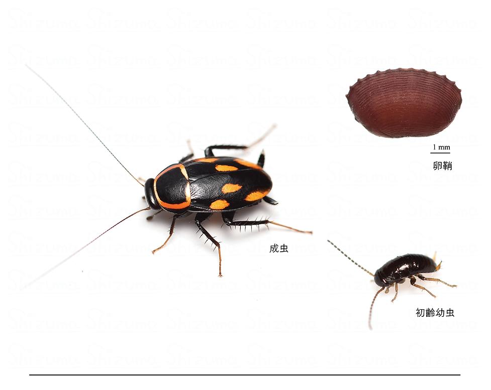 ムツボシテンダマゴキブリ.png