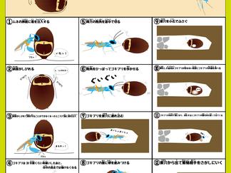 エメラルドゴキブリバチのマンガ風解説パネル