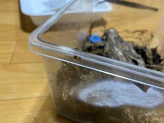 チビゴキブリの幼虫