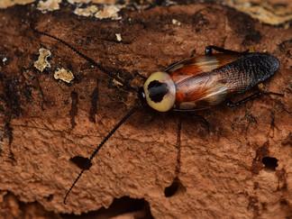 キボシクサリトイゴキブリの羽化