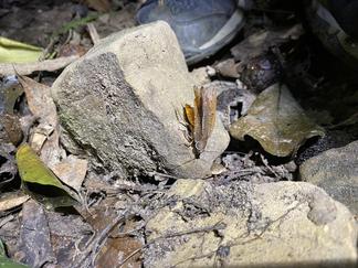 コマダラゴキブリの求愛