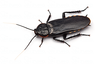 バサリスサシガメゴキブリ.png