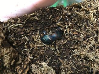 ウスオビゴキブリの交尾