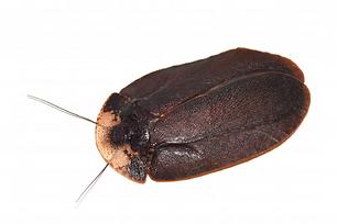 キノカワゴキブリ.png