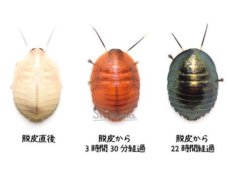 ニジイロゴキブリにおける脱皮後の体色変化