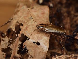 オキナワチャバネゴキブリ