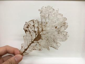 ゴキブリ葉脈標本