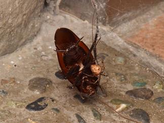 ヒメグモによる捕食