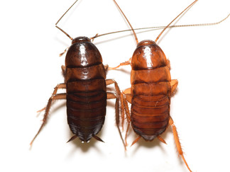 ワモンゴキブリブラックとワモンゴキブリノーマルの交配