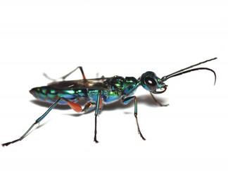 エメラルドゴキブリバチAmpulex compressaの繁殖方法