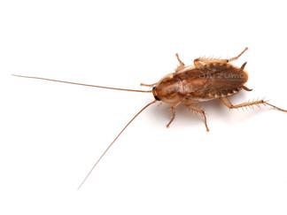 カノモリゴキブリ