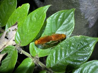 オオモリゴキブリの交尾
