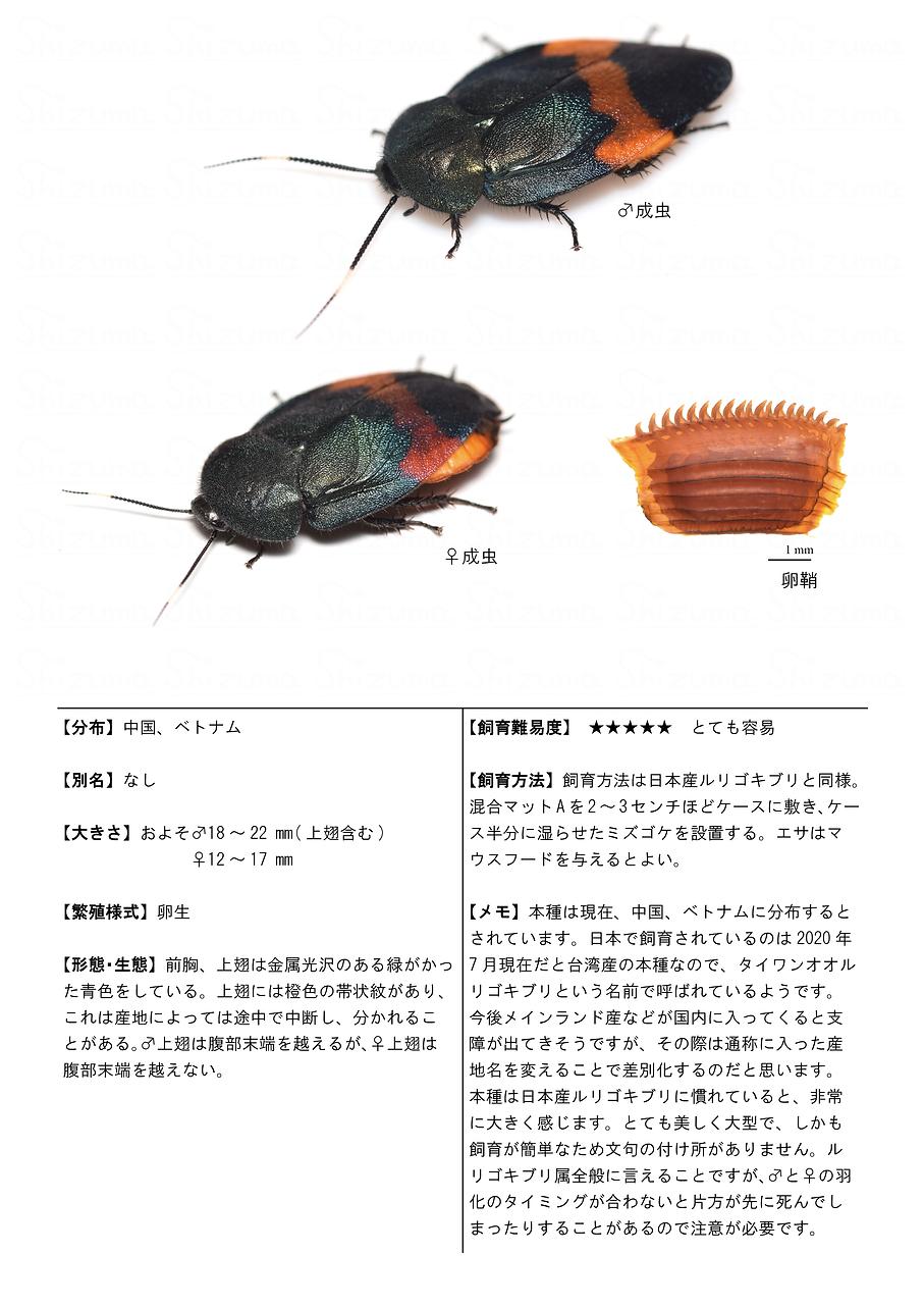 タイワンオオルリゴキブリ.png