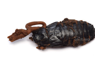 ゴキブリに生えるキノコ