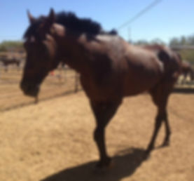 Acolyte Ace 15 year old stallion.jpg