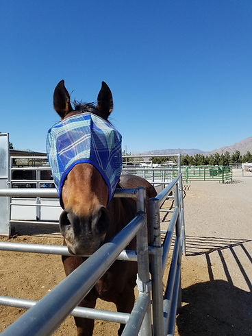 ex-racehorse adriatic moon with new fly mask