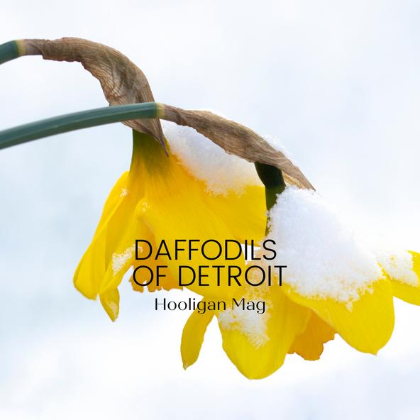 Daffodils of Detroit