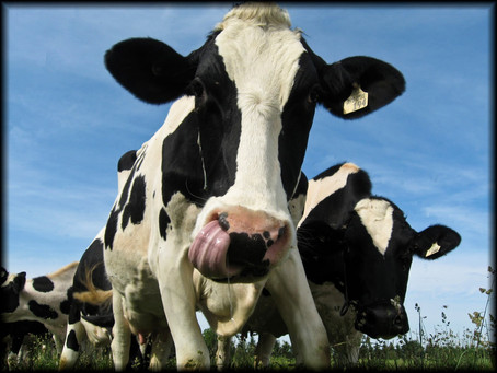 Healthy Cows During Transition