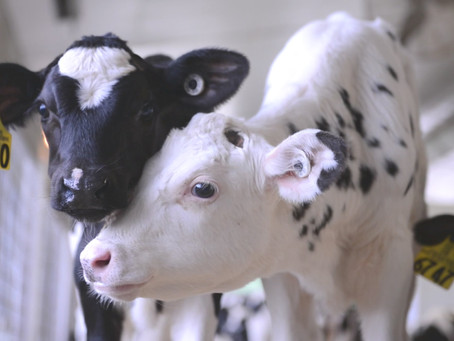 Converting Calves Into Full Functioning Cows
